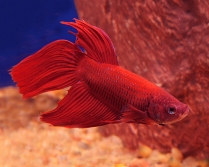My Liebster: Red Samurai Fish